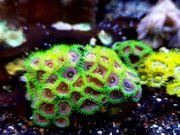 Meerwasser Krustenanemonen