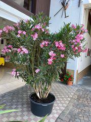 Oleander blühend