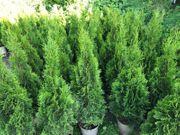Thuja Smaragd 90-100 cm im