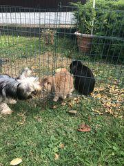 NHD MiniLop Kaninchenpaar Stall