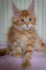 Maine Coon Kätzchen suchen neues