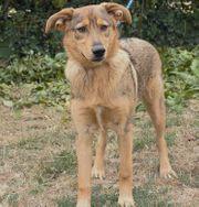Fifa - Schäferhund-Mischling 8 Monate Hund