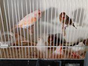 kanarienvogel Rot Mosaik