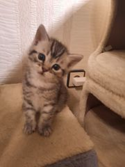 Kitten Scottish Straight BKH