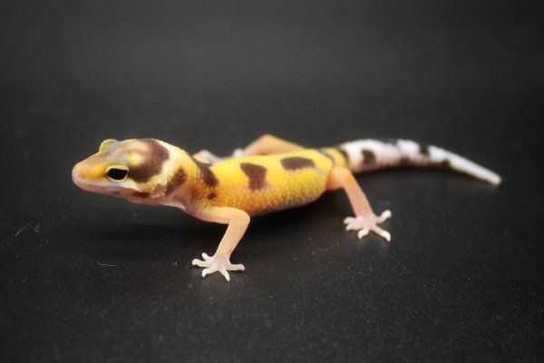 0 0 1 Leopardgecko Weibchen