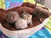 BKH Kitten 2 Weibchen und