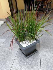 Blut Gras japanisches für Balkon
