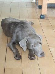 Labrador Hündin silber