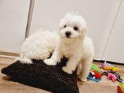 Malteser puppy Welpen