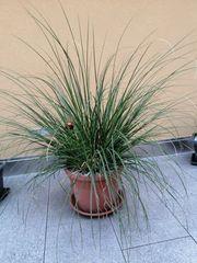 Pampas Gras Pflanze für Balkon