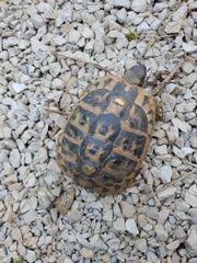 Griechische Landschildkröte weibl.