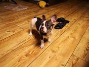 Freiatmende Fr Bulldoggen