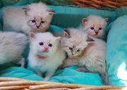 Wundervolle Neva Masquarade Kitten mit