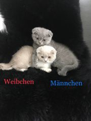 Süße Bkh Scottish Fold Kitten
