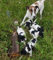 Foxterrier Terrier Welpen