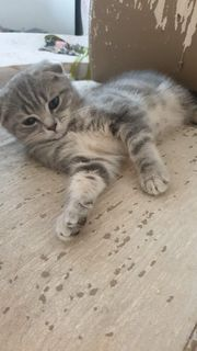 Kitten Scottisch fold nur noch