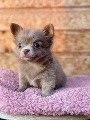 Top Chihuahua Welpen