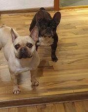 Französische Bulldogge Emma in Choco
