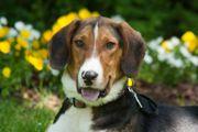 Kimo 1 Jahr 6 Monate - Beagle-Mix