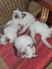 Siam Kitten blue point X