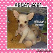 Chihuahua schoko Husky