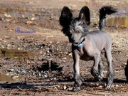 Baccardi ~ Chinese Crested ~