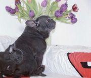 Französische Bulldogge Welpen blau mit