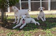 Labrador Mix 9 Monate
