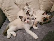 2 Wunderschöne Ragdoll Kitten suchen