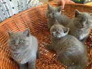BKH Katzen Babykatze Britisch Kurzhaar