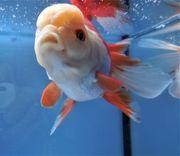 KOI 13 Anz 1 2020 Goldfisch -