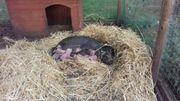Ferkel von Minischweinen zu verkaufen