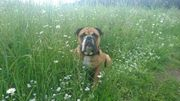 Continental Bulldogge Bobi sucht ein