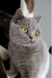 Wurfankündigung BKH-Kitten