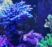 Korallen Acropora Euphyllia