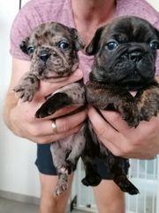 Französische bulldogge merle Babys