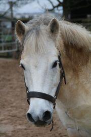 Ponywallach zu verkaufen