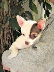 Schöne Chihuahua Welpen