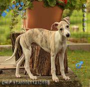 Familienfreundliche Whippet Windhund Welpen