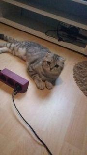 Schottish Fold Katze