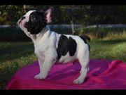 Zuhause trainiert Französische Bulldogge blue