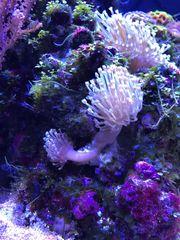sacrophyton pilzleder Koralle Ableger Meerwasser