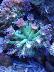 Meerwasser goniopora Koralle Pilzleder fidji