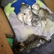 Savannah-Kitten silver Savannahs F6 SBTsnow