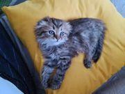 BKH Kitten Perser