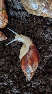 Junge Achatschnecken zu verschenken