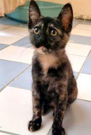 Wunderschöne Schildpatt Kitte 4 Monate