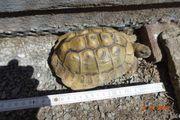 Verkaufe griechische und maurische Landschildkröte