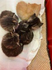 Frühlings- Kätzchenbabies abzugeben