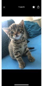 BKH Tiger Kater Kitten